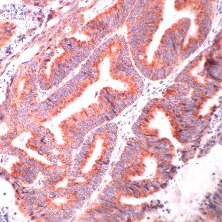 HSPA9 Antibody (PA5-32436)