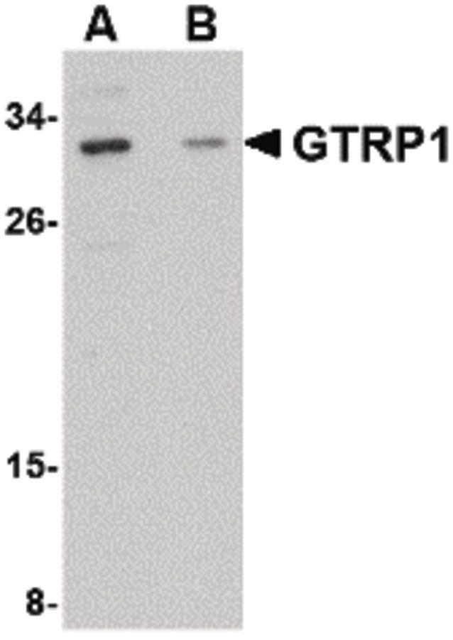 GRTP1 Antibody (PA5-20567)