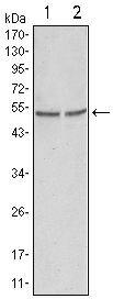 GSK3 alpha Antibody (MA5-15338) in Western Blot