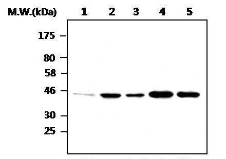 GSK3 beta Antibody (MA5-17232)