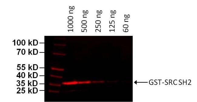 GST Tag Antibody (MA4-004-D680) in Western Blot