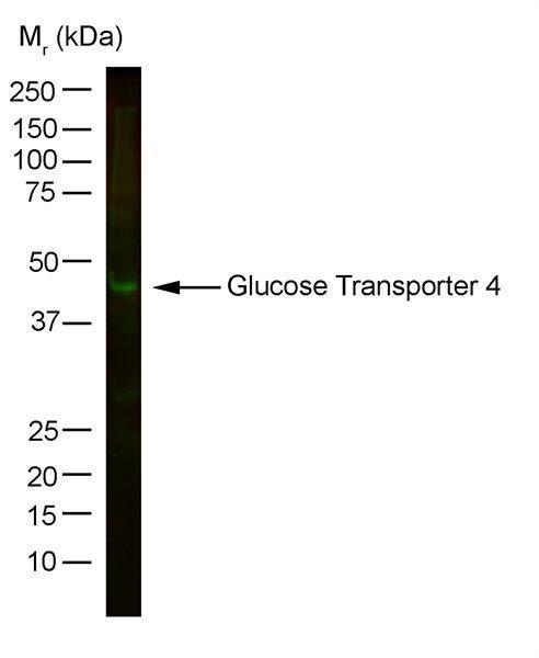 GLUT4 Antibody (MA1-83191)