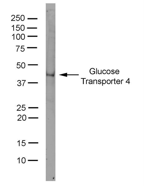 GLUT4 Antibody (MA1-83191) in Western Blot
