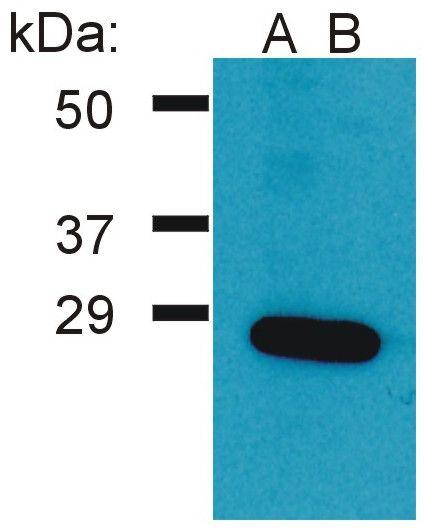GRB2 Antibody (PA1-10033)