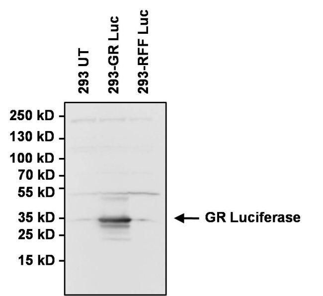 Green Renilla luciferase Antibody (PA1-180) in Western Blot