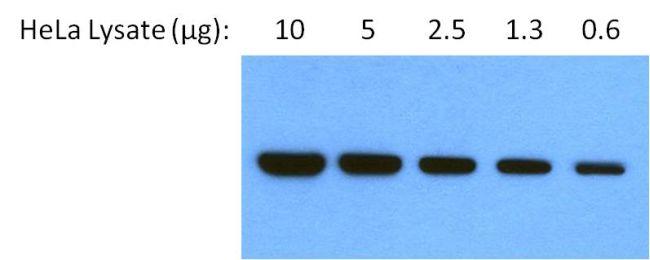GRP94 Monoclonal Antibody (9G10)
