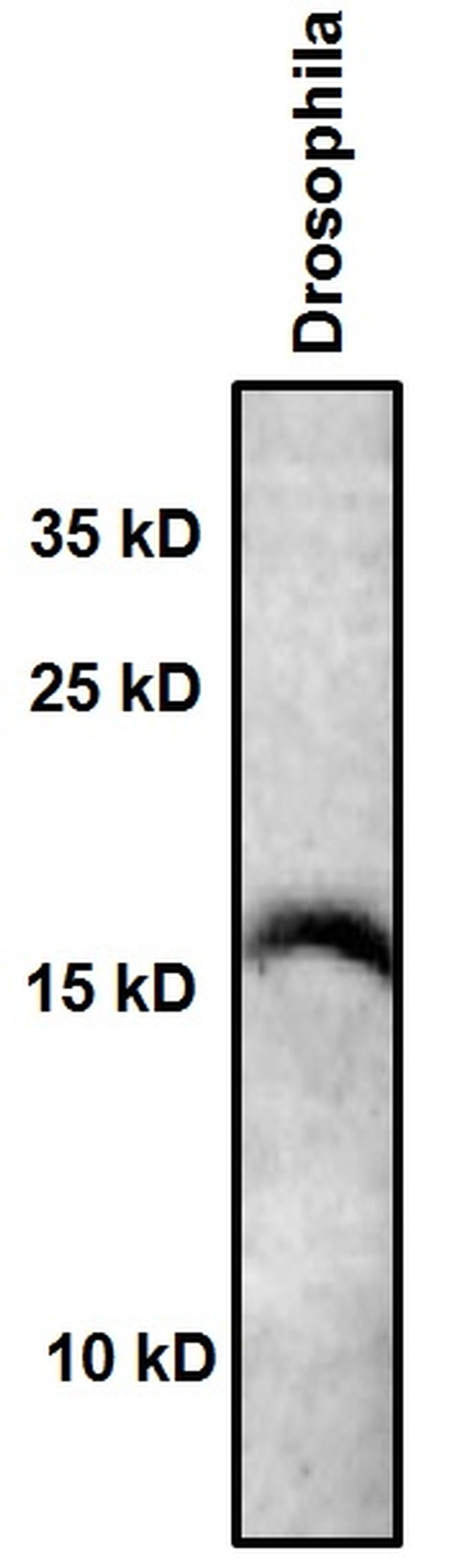 Acetyl-Histone H3 (Lys9) Antibody (701269) in Western Blot
