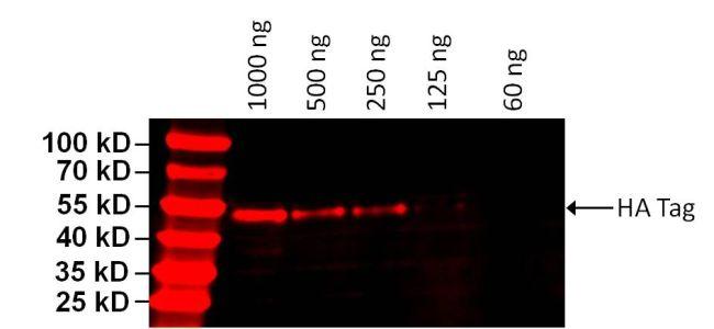 HA Tag Antibody (26183-D680) in Western Blot