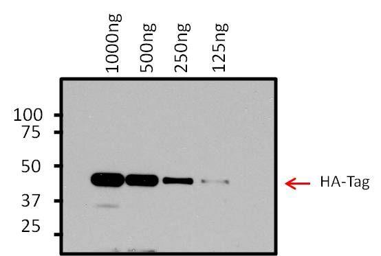 HA Tag Antibody (26183-1MG) in Western Blot