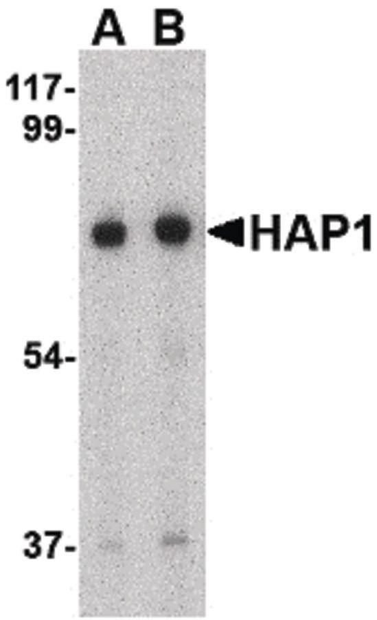 HAP1 Antibody (PA5-20377) in Western Blot
