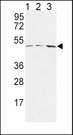 HAPLN1 Antibody (PA5-26792) in Western Blot