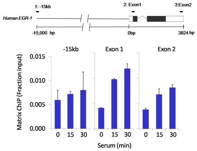 HDAC11 Antibody (PA5-11249) in ChIP assay