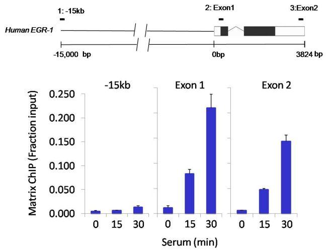 Phospho-HDAC4/HDAC5/HDAC7 (Ser246, Ser259, Ser155) Antibody (MA5-14776) in ChIP assay
