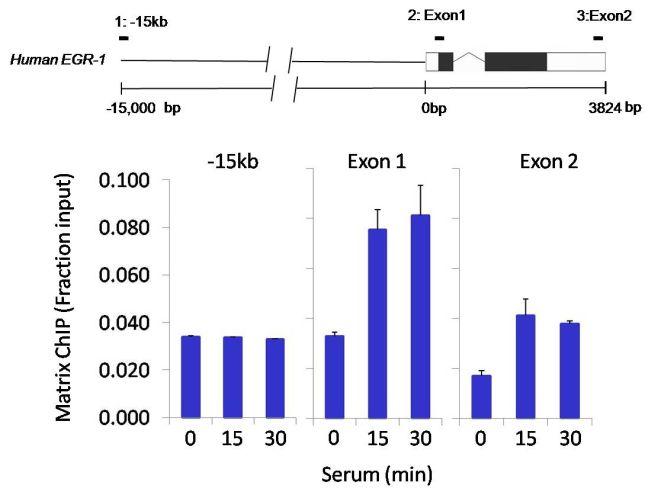 HDAC4 Antibody (PA5-29103) in ChIP assay