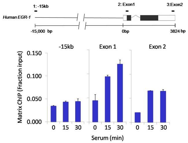 HDAC7 Antibody (PA5-23131)