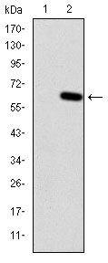 HFE Antibody (MA5-15907) in Western Blot