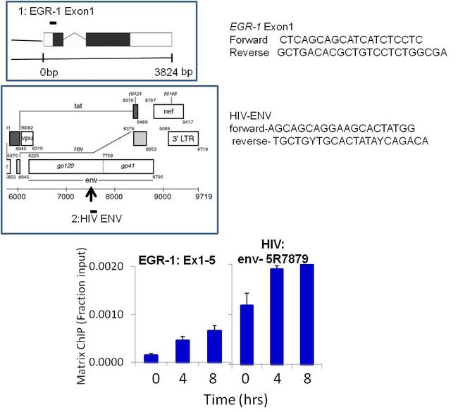 HIV1 Tat Antibody (MA1-71508) in ChIP assay