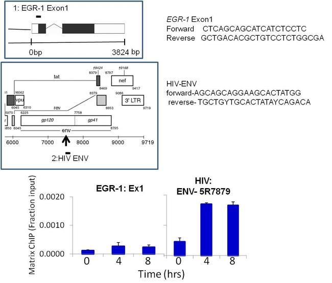 HIV1 Tat Antibody (MA1-71509) in ChIP assay