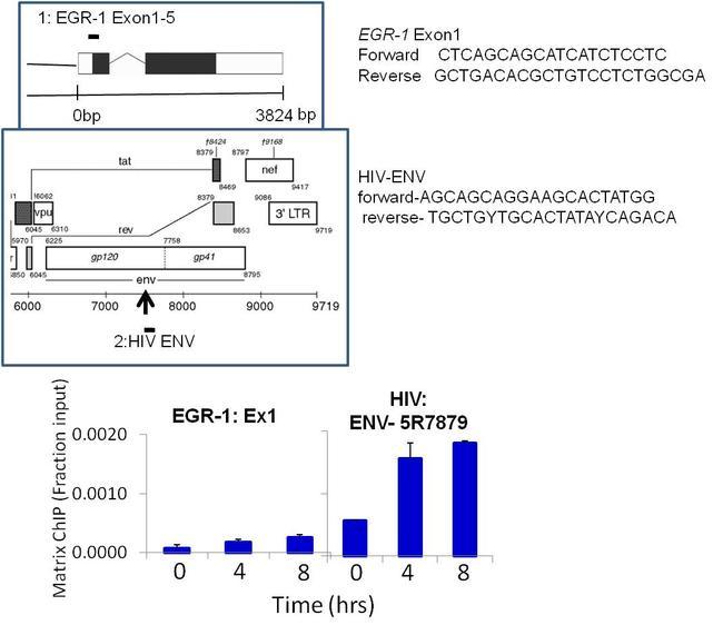 HIV1 Tat Antibody (MA1-71511) in ChIP assay