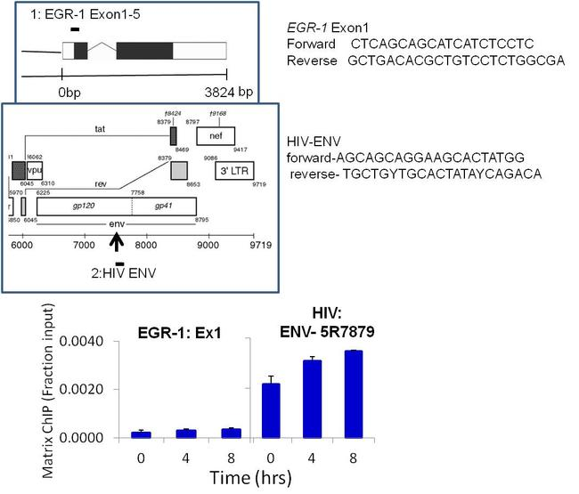 HIV1 Tat Antibody (MA1-71513) in ChIP assay