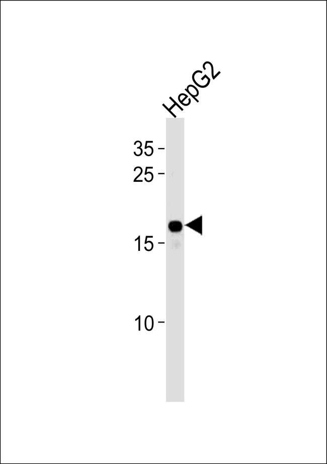 HMGA2 Antibody (PA5-25276) in Western Blot