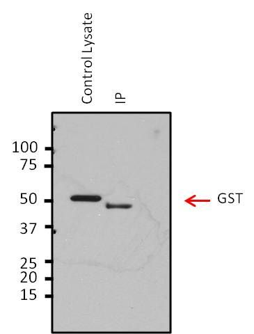 HRV3C Antibody (PA1-118) in Immunoprecipitation