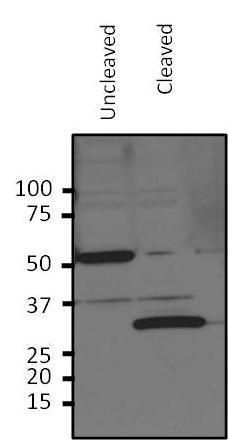 HRV3C Antibody (PA1-118) in Western Blot