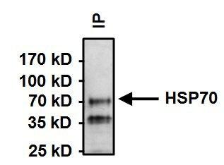 HSC70 Monoclonal Antibody (13D3)