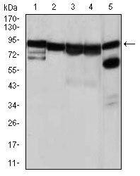 HSP90 alpha Antibody (MA5-17091) in Western Blot