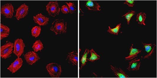 HSP90 alpha Antibody (PA5-16341) in Immunofluorescence