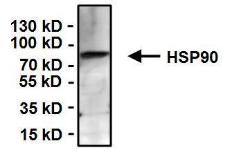 HSP90 alpha Antibody (MA3-011) in Immunoprecipitation