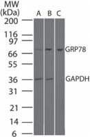 GRP78 Antibody (PA1-41404) in Western Blot