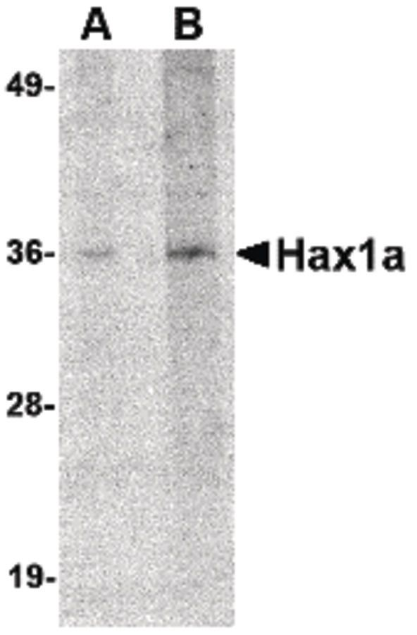 HAX1a Antibody (PA5-20649) in Western Blot