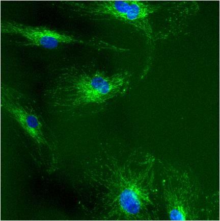 mtHSP70 Antibody (MA3-028) in Immunofluorescence