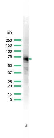 HSP70 Antibody (PA5-32446) in Western Blot