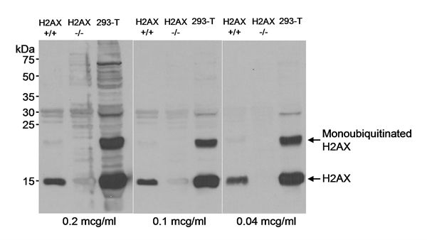 Histone H2A.X Antibody (PA1-84856)