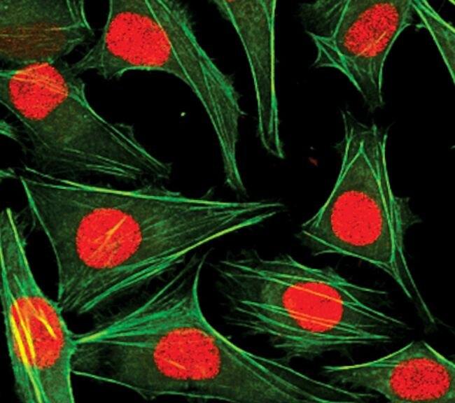 Histone H3.3 Antibody (PA5-17697) in Immunofluorescence