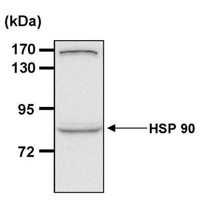 HSP90 alpha Antibody (MA3-011) in Western Blot