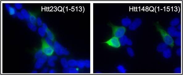 HTT Antibody (PA1-002) in Immunofluorescence