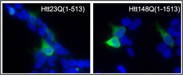 HTT Antibody (PA1-002)