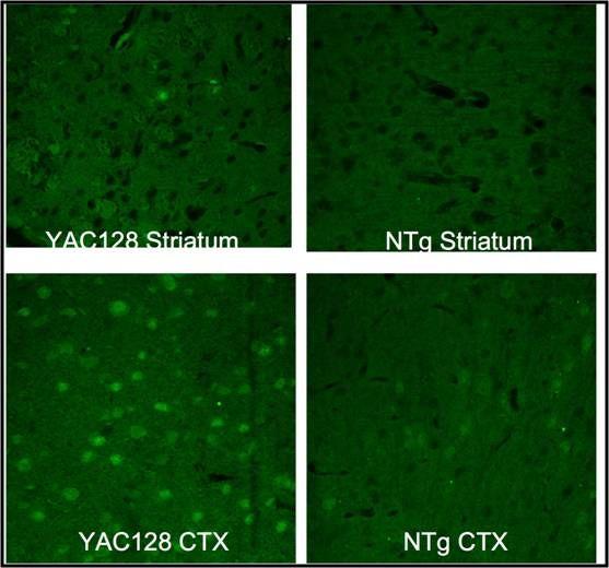 HTT Antibody (PA1-004) in Immunohistochemistry