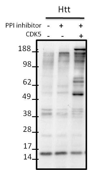 Phospho-HTT (Ser434) Antibody (PA1-088)