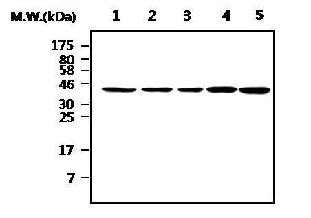 ICAD Antibody (MA5-17224)