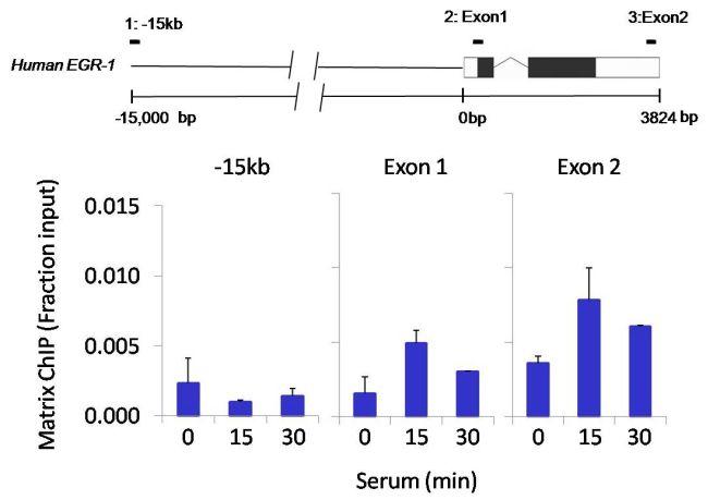 ICAM-1 Antibody (710278) in ChIP assay