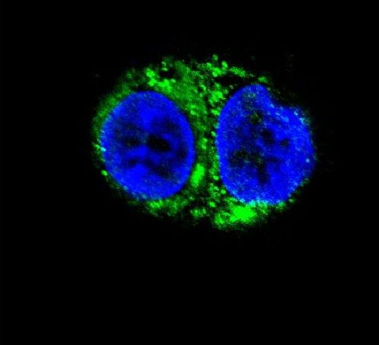 IDH1 Antibody (PA5-14358)