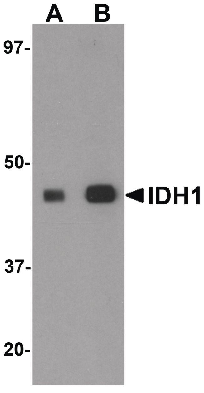 IDH1 Antibody (PA5-20976) in Western Blot