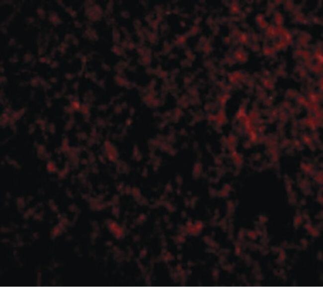 IER3 Antibody (PA5-20391)