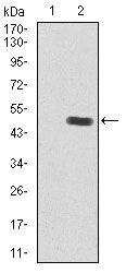 IGF2 Antibody (MA5-17096) in Western Blot