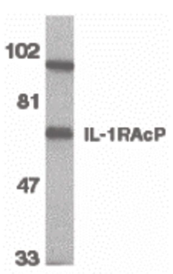 IL-1RAcP Antibody (PA5-19921) in Western Blot