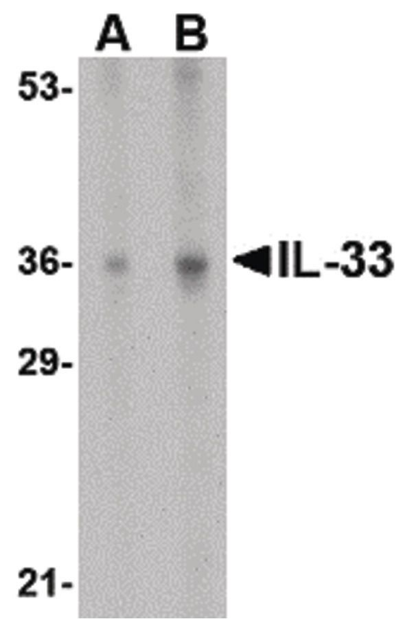 IL-33 Antibody (PA5-20397) in Western Blot